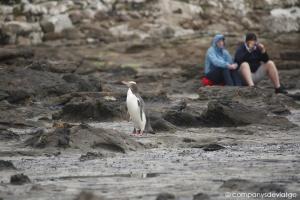 Yellow-eyed penguin @ Curio Bay